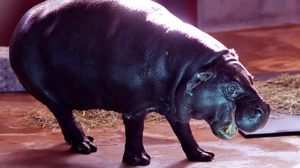 """In this Dec. 9, 2017 photo, Francesca, 26-year-old pygmy hippopotamus makes her first appearance at the Oklahoma City Zoo in Oklahoma City since moving from the San Diego Zoo. Oklahoma City native Gayla Peevey helped welcome Francesca to the city's zoo, more than 60 years after her song about wanting one for Christmas helped the facility purchase its first. In 1953, the then 10-year-old Peevey sang the novelty hit, """"I Want a Hippopotamus For Christmas."""""""